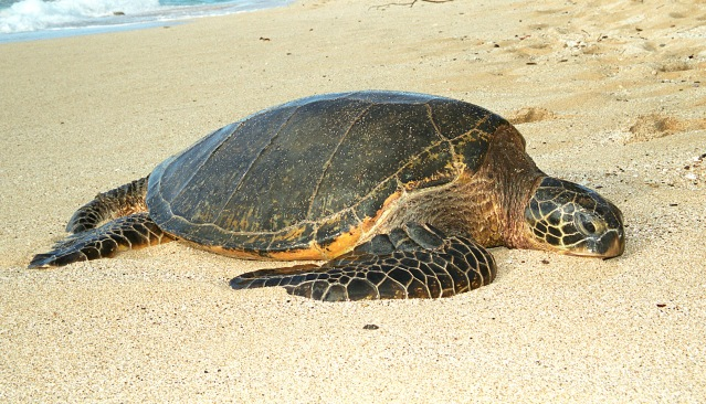 honu_1_by_manaphoto_stock